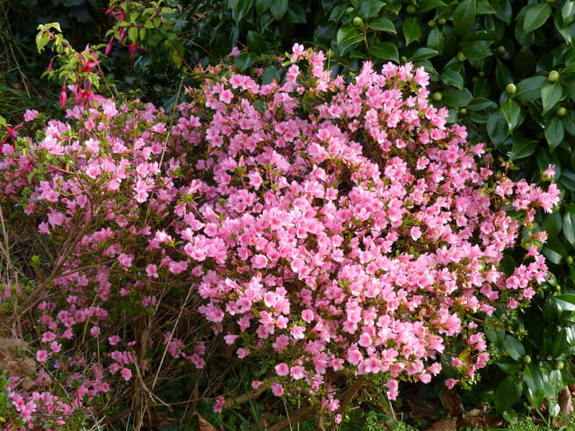 Azalée en fleur en décembre