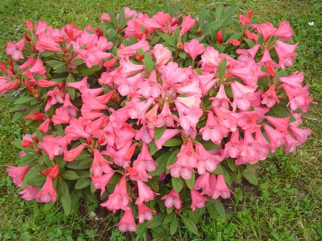 Azalee en fleurs
