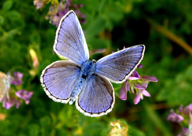 Azuré bleu