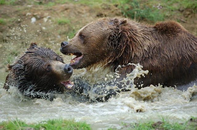 Baignade des ours