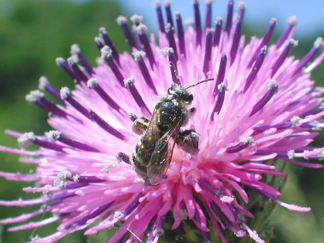 Bain de pollen chardon