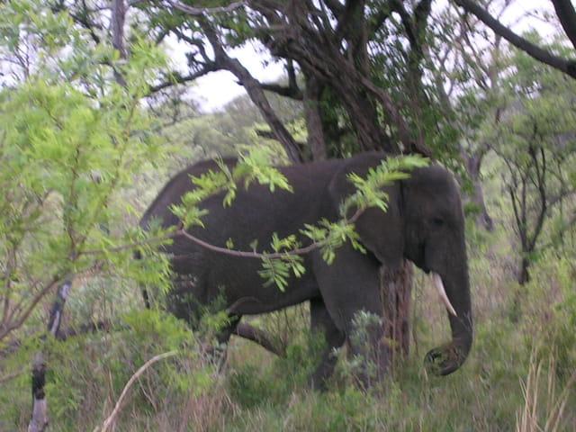 Balade d'un éléphant
