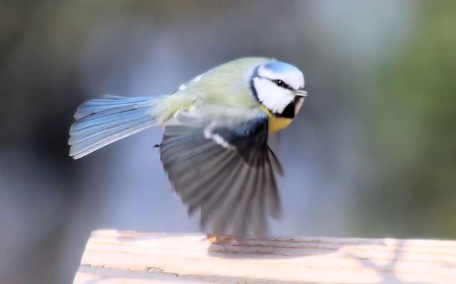 Ballet de la mésange bleue