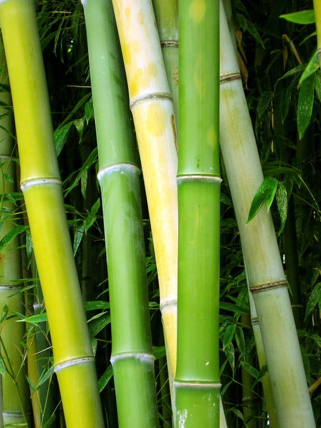Bambou 1