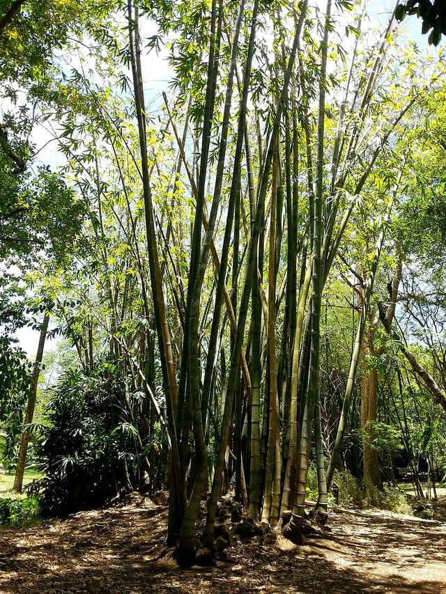 Bambous (3)