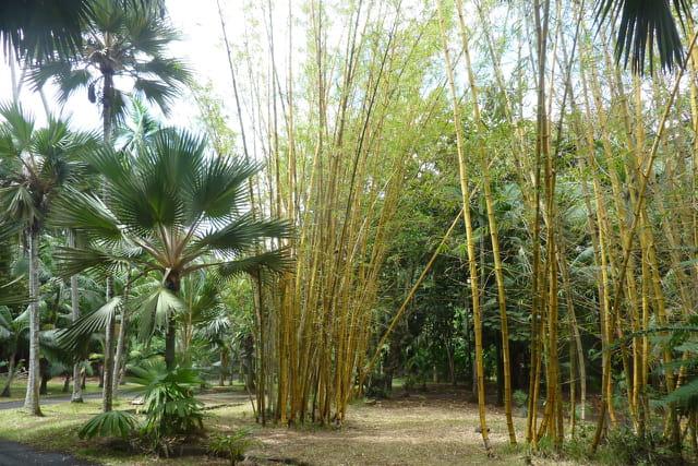 Bambous verts de Chine