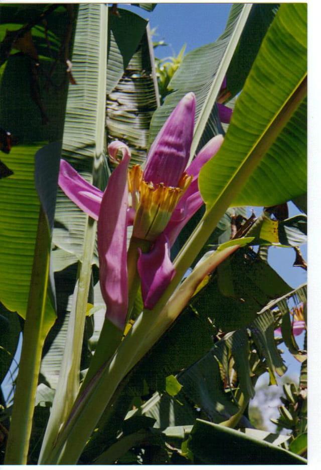 Bananier fleur