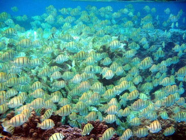Banc de poissons sergent dans le lagon de Tahiti