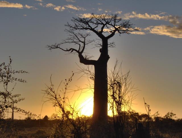 Baobab au coucher du soleil