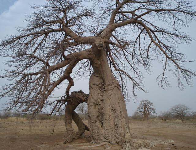 Baobab botté