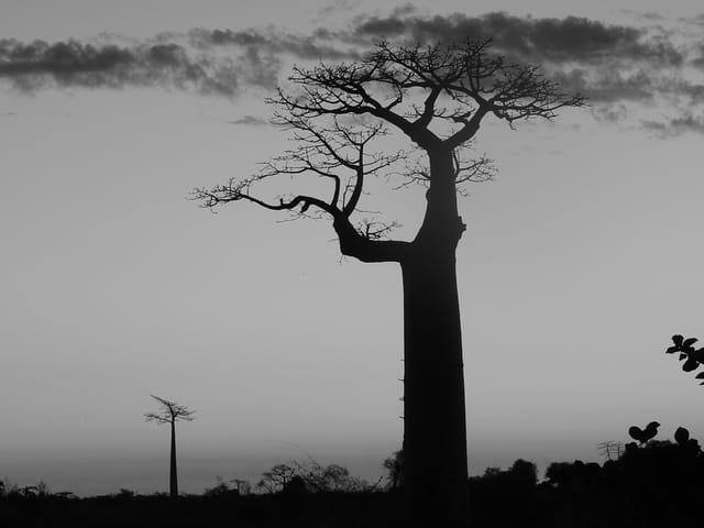Baobabs en contre jour