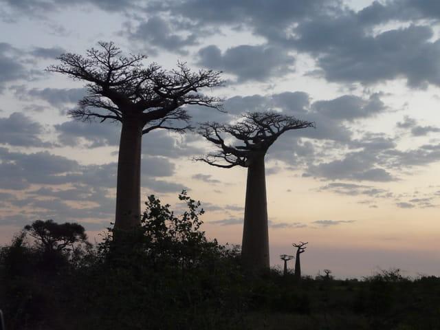Baobabs en hiver