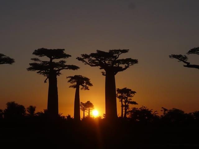 Baobabs malgaches en ombres chinoises