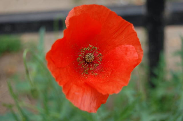 beau coquelicot !