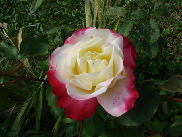 Beaute d'une rose
