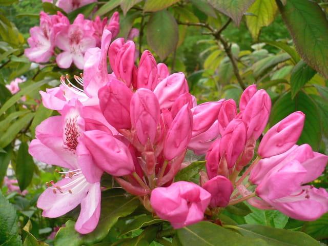 Beauté rose
