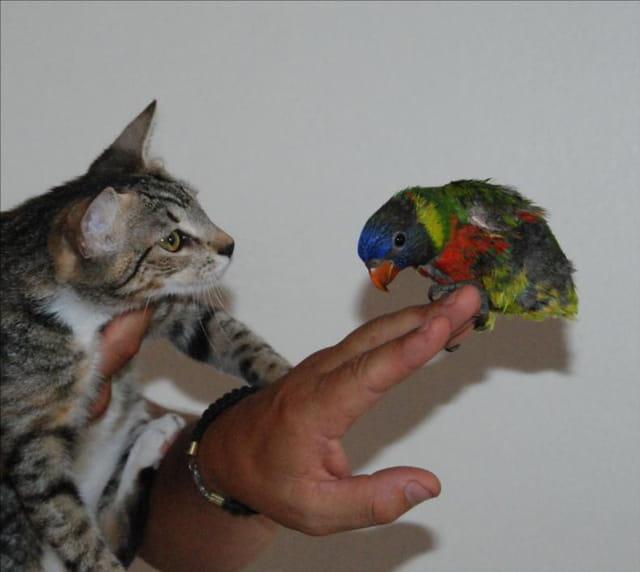 Bébé chat   bébé péruche