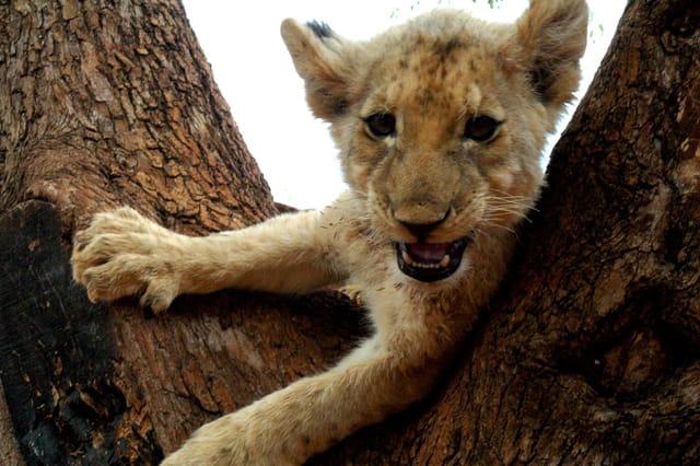 Bébé lion pas content