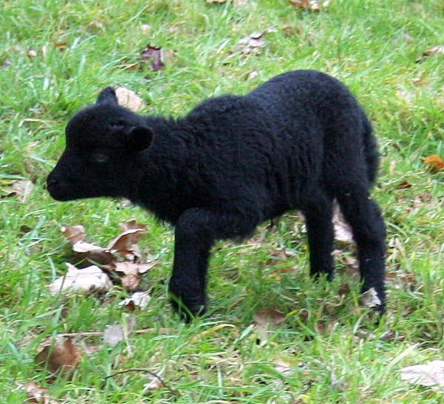 Bébé mouton d'ouessant