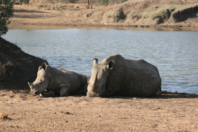 Bébé Rhino et sa maman