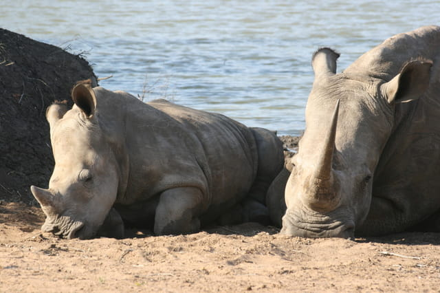 Bébé Rhinocéros