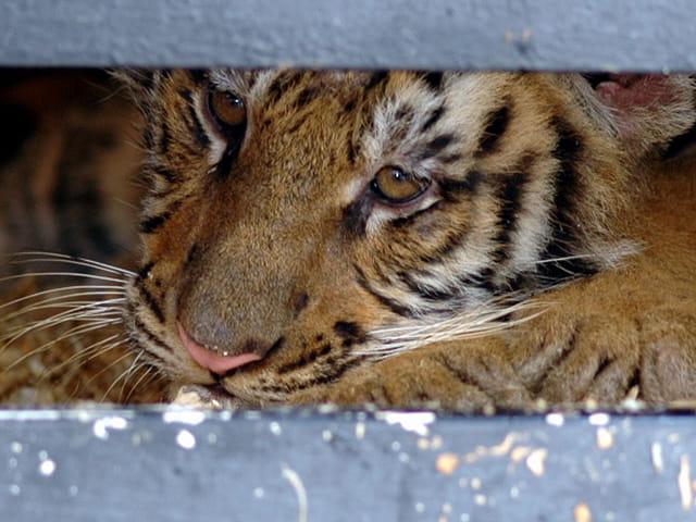 Bébé tigre triste