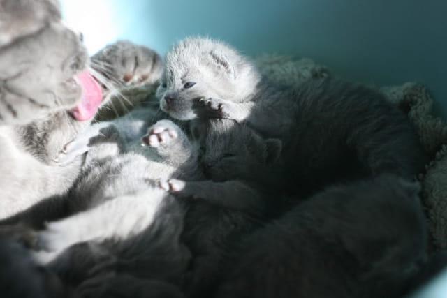 Bébés Chartreux, 13ème jour
