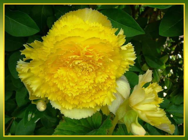 Bégonia jaune