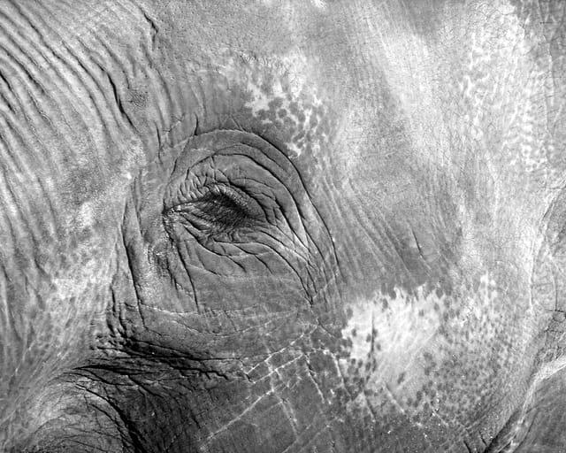 Bel oeil d'éléphant