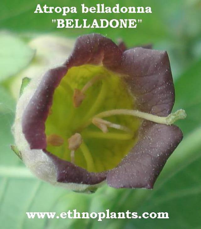 Atropa belladonna en vente