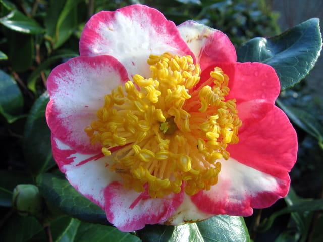 Belle fleur de camélia