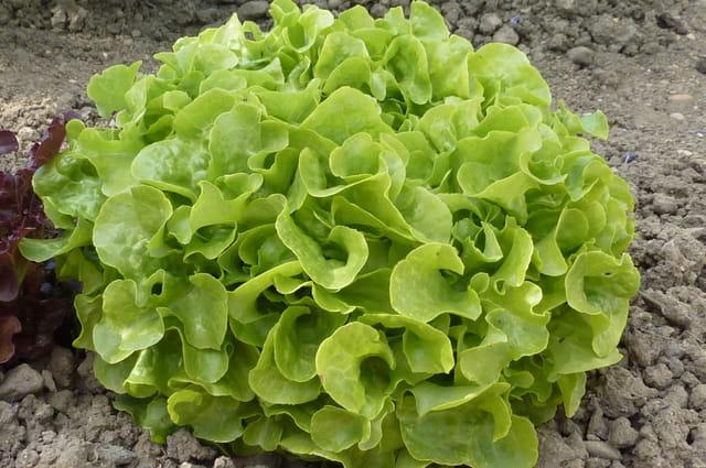 belle salade feuille de ch ne par liliane jalley sur l. Black Bedroom Furniture Sets. Home Design Ideas
