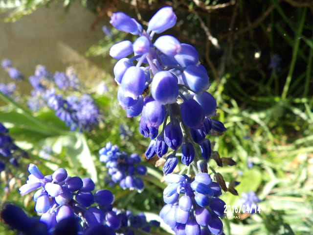 belles petites fleurs bleues par isabelle taras sur l 39 internaute. Black Bedroom Furniture Sets. Home Design Ideas