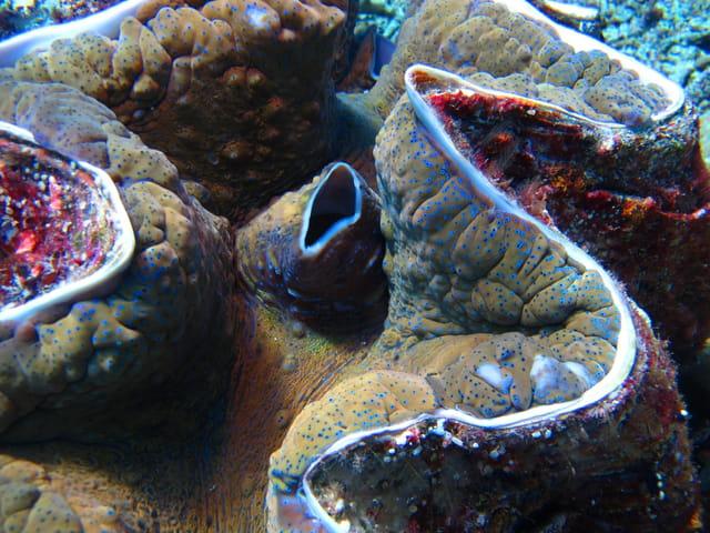 Bénitier géant (Tridacna gigas)