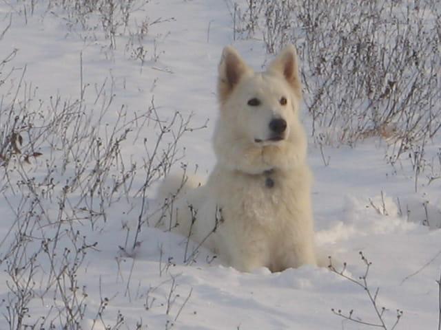 Berger blanc sous la neige