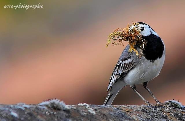 bergeronnette grise (nidification)