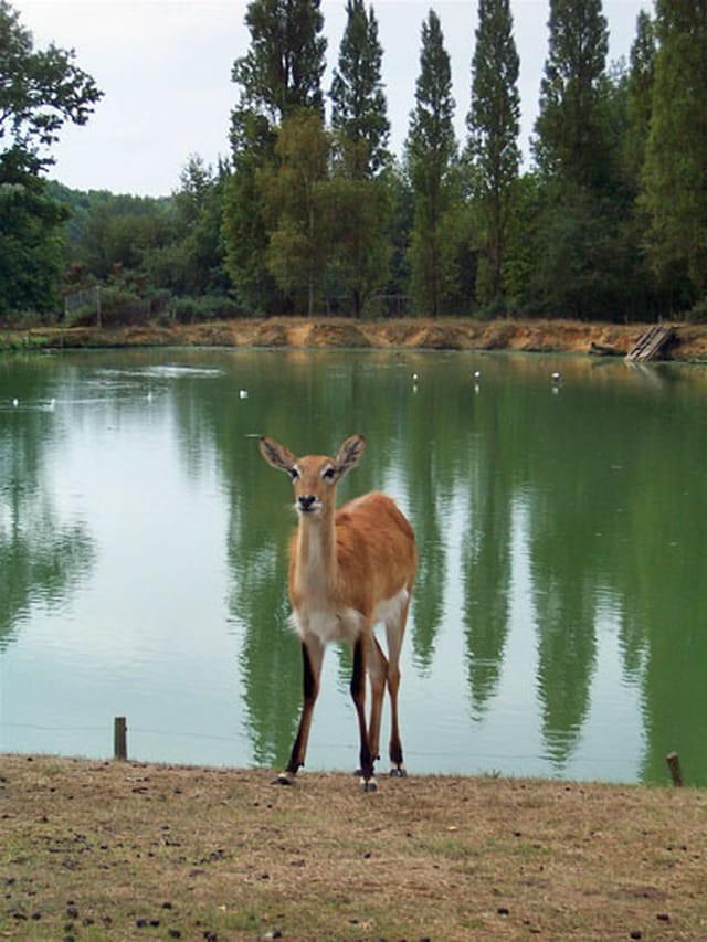 Biche au bord de l'étang