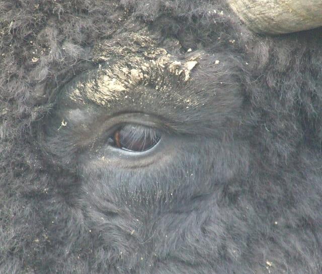 E Bison Fute Bison futé par ju...