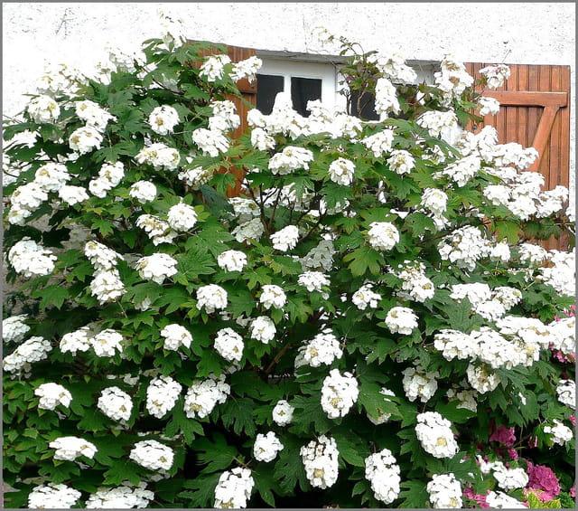 Blancheur de l'hortensia quercifolia