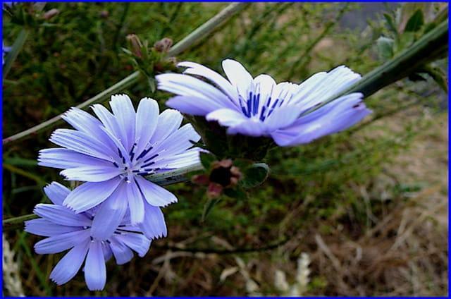 **  Bleu tendre **