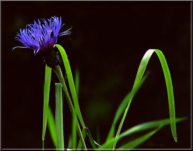 Bleuet sur ombre