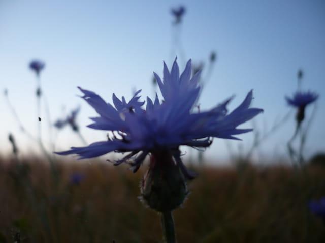 Bleuet Vesper