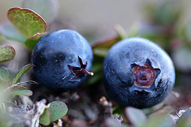 Bleuets (myrtilles) sauvages