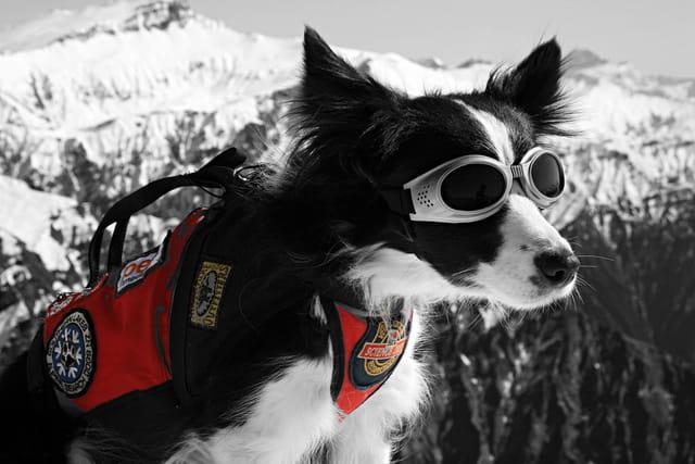 Blizz chien d'avalanche