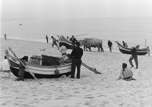Boeufs tirant barques de pêche