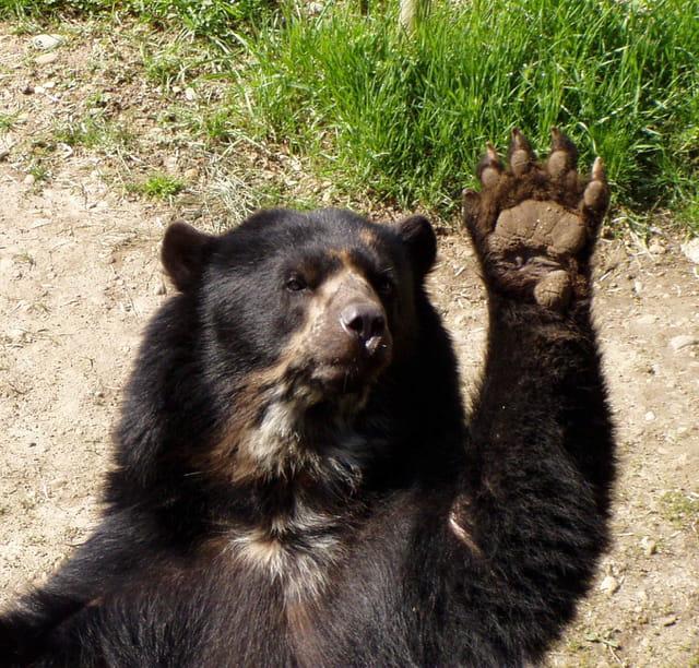 Bonjour tous (ours à lunettes)