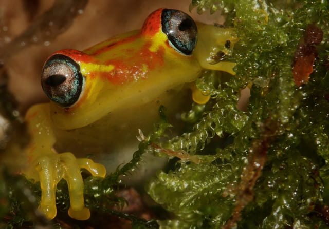 Boophis rappiodes