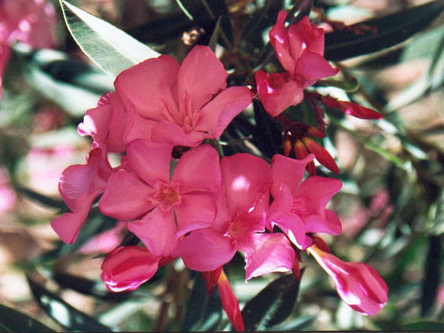Bougainvillers
