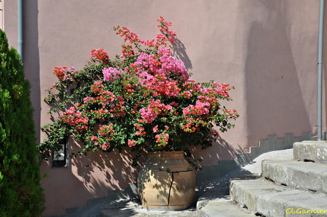 Bougainvillier en pot