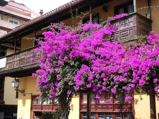 Bougainvillier et balcon